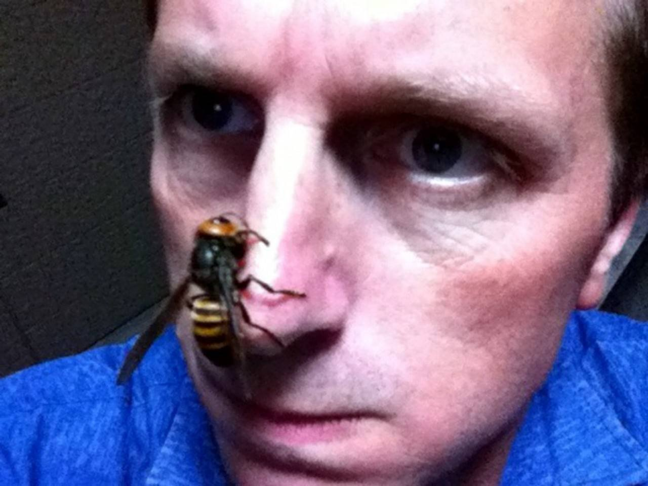 Giant hornet stinger