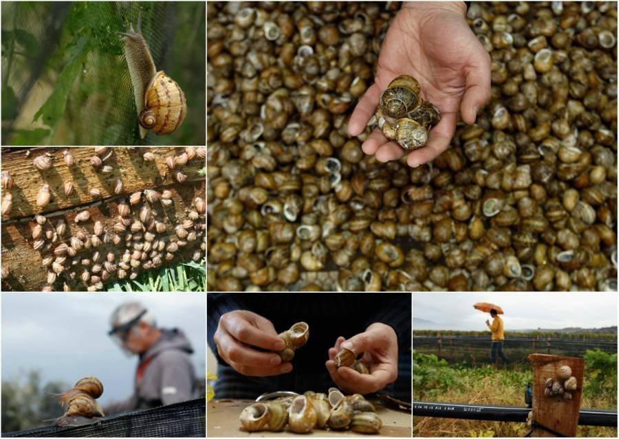 Бизнес выращивание виноградной улитки 75