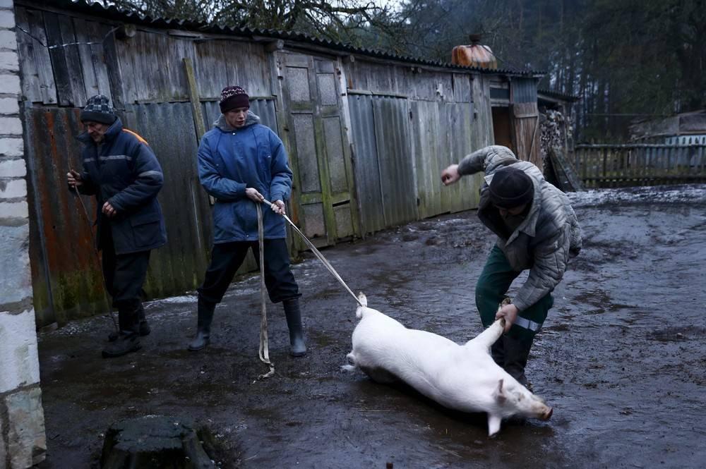 Как в домашних условиях зарезать свинью