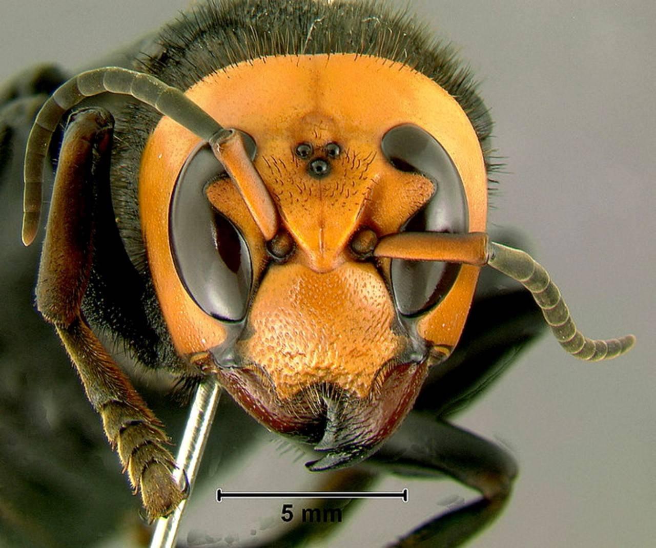chinese giant hornet - 900×752
