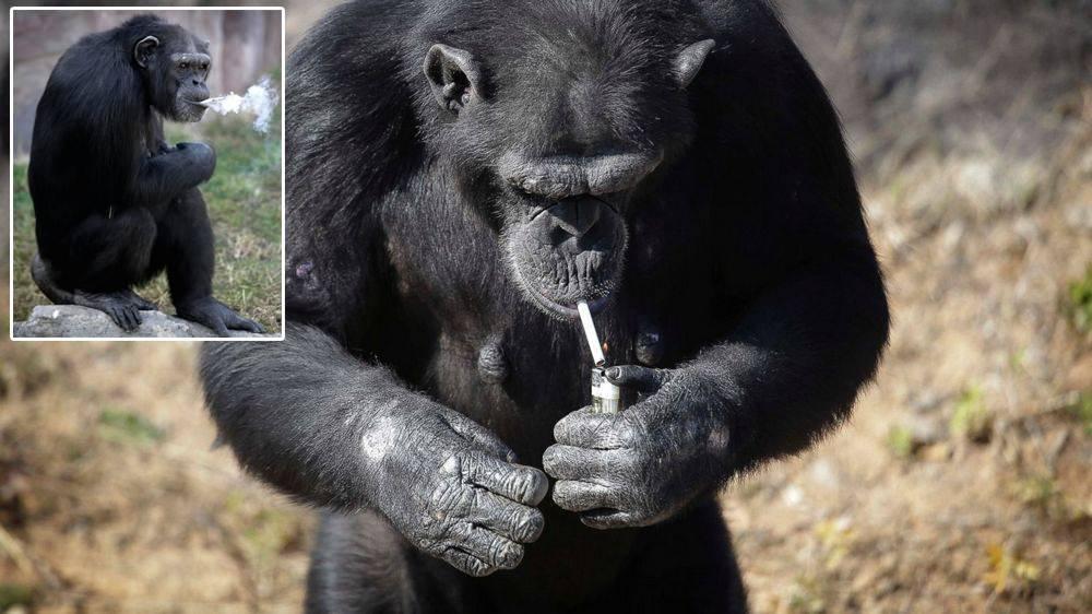 От плохой жизни даже обезьяна закурит