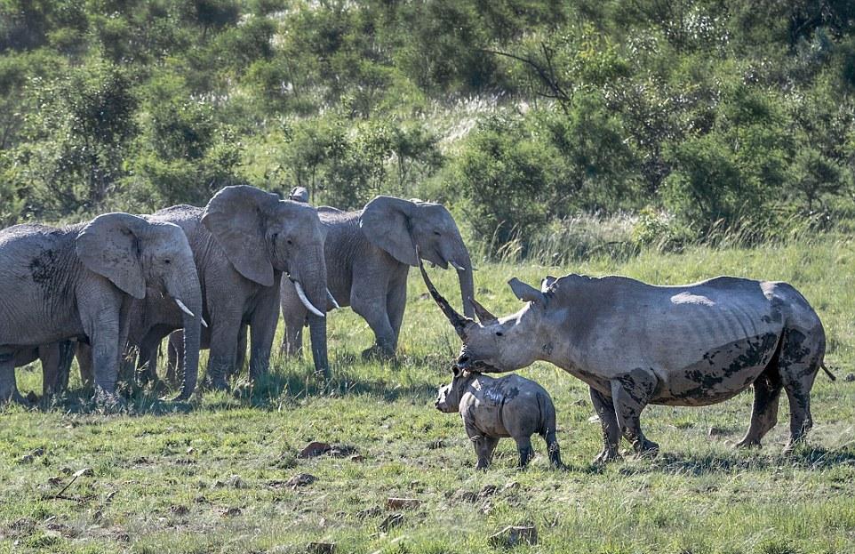фото стадо носорогов лоллобриджиду многие сих