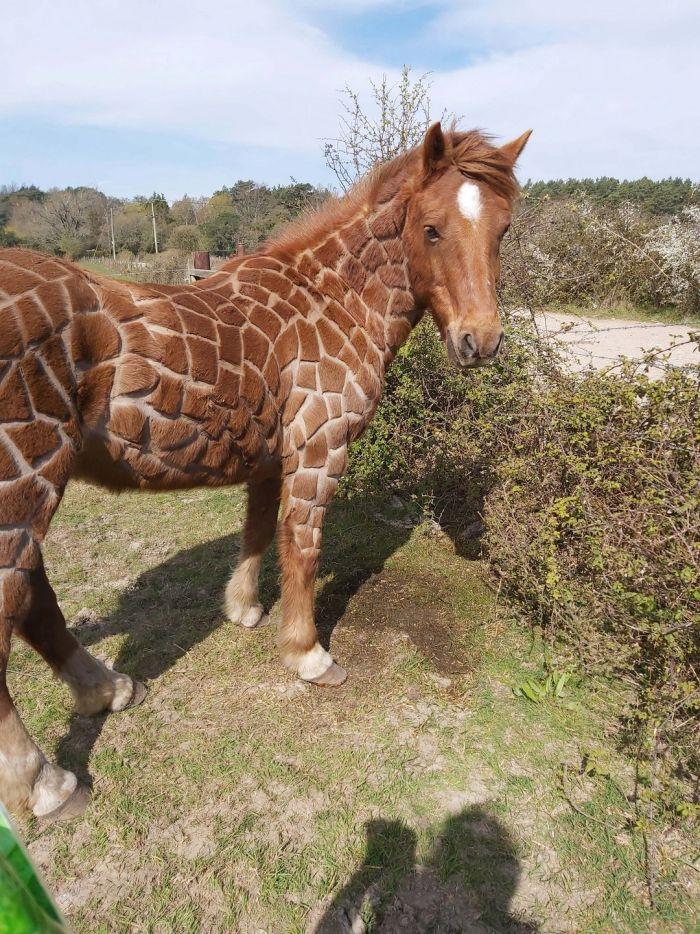 """Британка, скучающая в самоизоляции, подстригла лошадь """"под жирафа"""" Животные"""