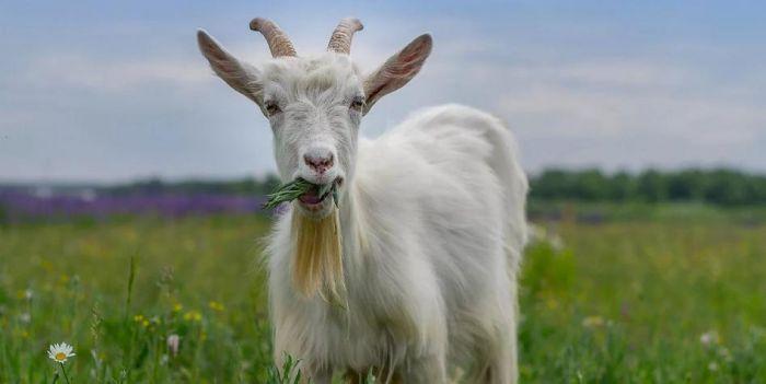 Индийские полицейские арестовали козу, ходившую без медицинской маски С миру по нитке