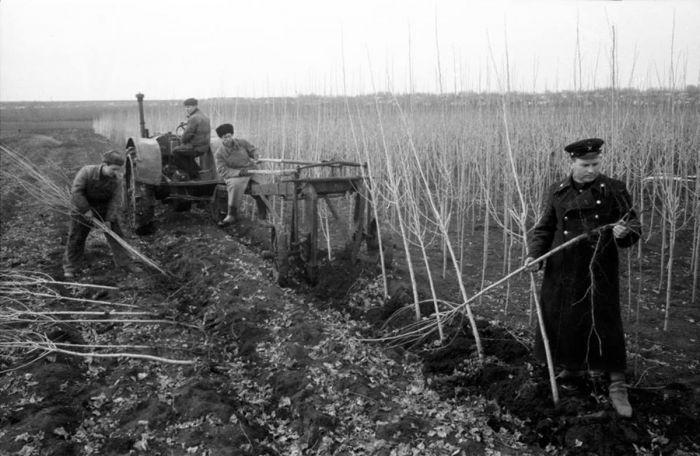 Почему в Советском Союзе повсеместно высаживали тополя С миру по нитке