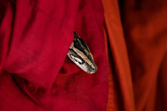 Мьянманский монах создал убежище для змей в монастыре С миру по нитке
