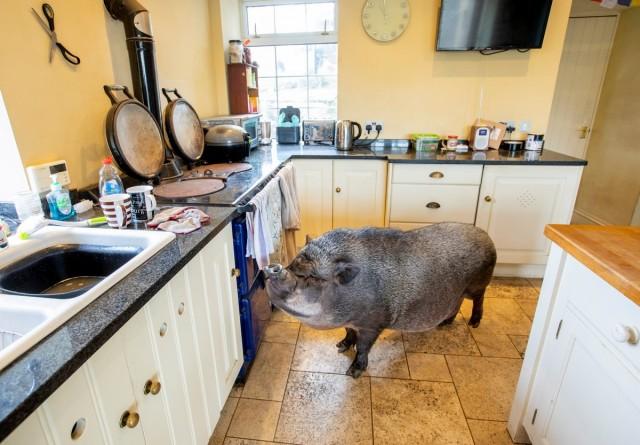 130-килограммовая свинья живет в доме и спит в запасной спальне, так как на улице ей слишком холодно Животные