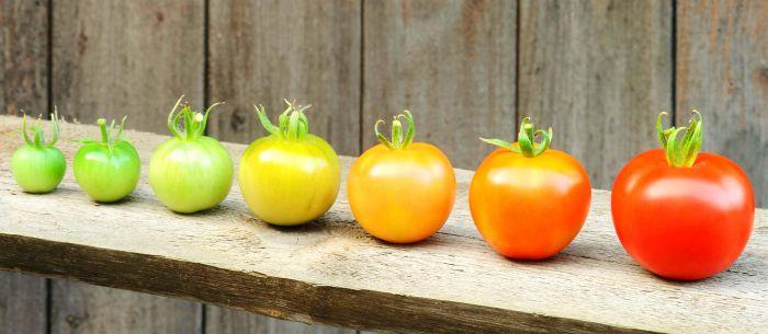 1618749608 tomaty po russki nazyvajutsja pomidorami 2