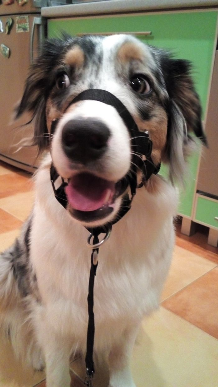 Халти  для собаки Как это сделано